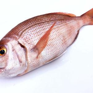 Bocinegro pescado en la Costa de Conil