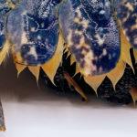 Detalle de abdomen de bogavante, donde se esconde su rica carne blanca, prieta y sabrosa.